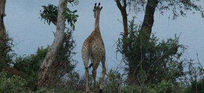 Giraffe on the horizon.
