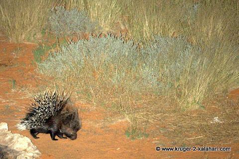Porcupine in the Kalahari