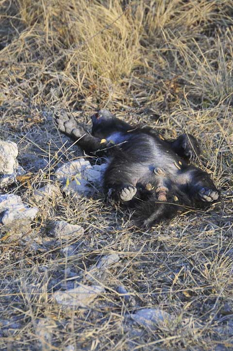 Roadkill honey badger baby in Etosha