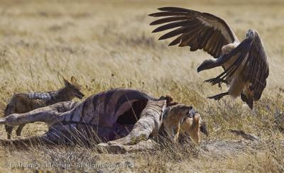 vulture taking on a jackal at a zebra kill