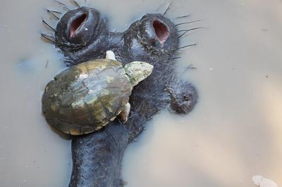 Terrapin on Hippo's head
