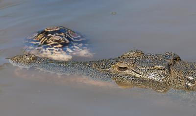 Crocodile with headless leopard tortoise