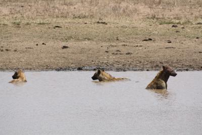 Spotted Hyenas taking a bath
