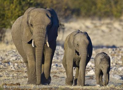 Elephant family - junior, adolescent and mommy