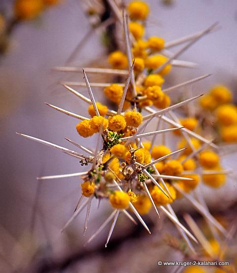 Acacia Nebrownii - Etosha
