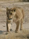 Lioness at Okondeka