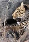 Leopard with cub 1