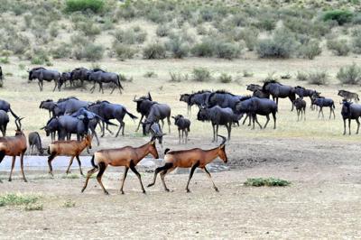 Wildebeest herd interacting with Red Hartebeest herd