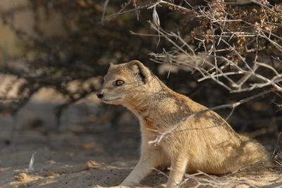 Yellow Mongoose in camp