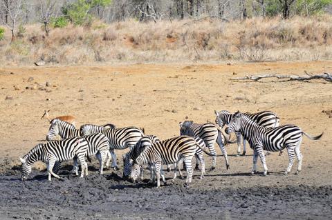zebra herd drinking