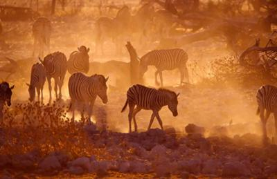 Zebras at Okaukuejo waterhole