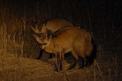Just outside Nossob Camp - pair of Bat eared foxes on night drive