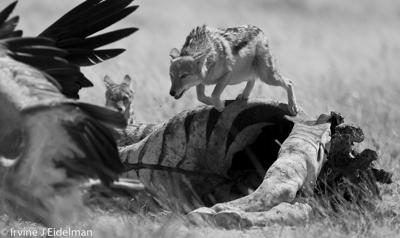 Black-backed jackal jumping over zebra carcass