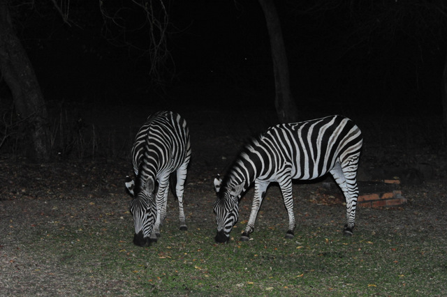 now only two grazing Zebras